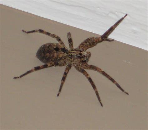 big spider in bathroom 93 big spider in bathroom spiders at spiderzrule the european house spider