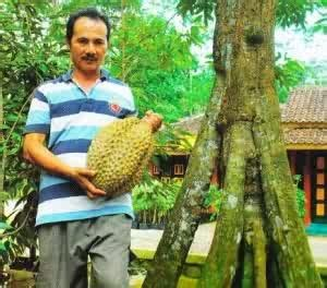 Bibit Durian Bawor Sarno bibit durian bhineka bawor bibit durian bhineka bawor