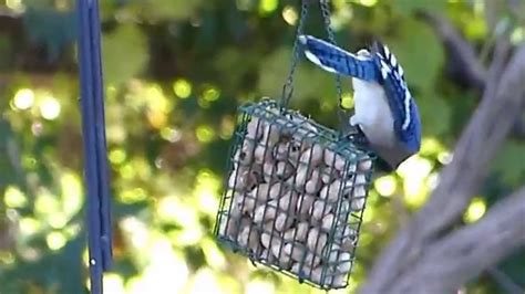 blue jay pecking at a suet feeder filled with peanuts