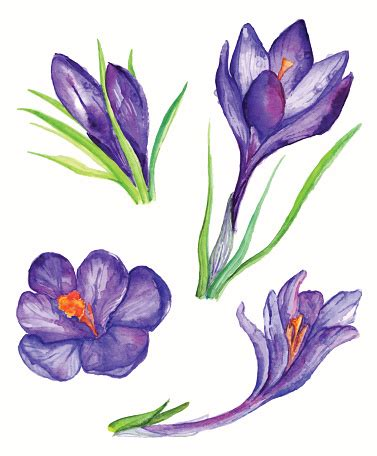 fiore clipart crocus flower clipart best