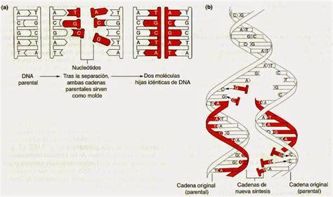 Dna 0 Resumen by Estructura De Los Cromosomas Replicaci 243 N Adn Y