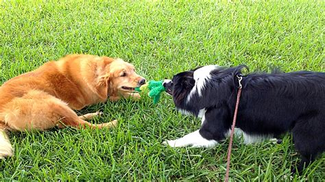 collie vs golden retriever draco 8 month border collie with ben the