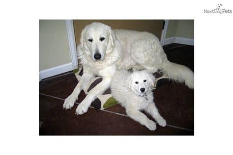 kuvasz puppies for sale kuvasz puppy for sale near pueblo colorado b31738e7 3521