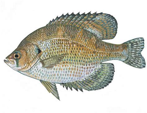 custom listing fliers for showings street side flier scdnr fish species flier
