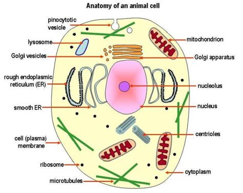 printable animal cell labels animal cell diagrams to print diagram site