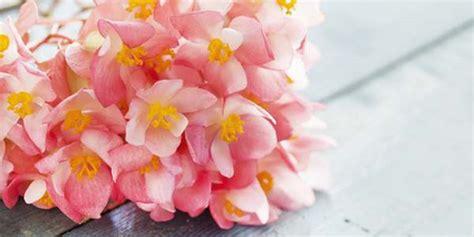 begonie in vaso begonia come coltivarla in vaso o in giardino greenme