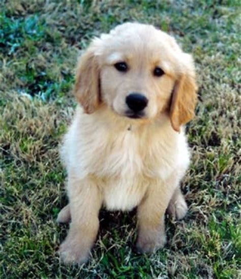 18 week golden retriever golden retriever photos pictures golden retrievers page 4