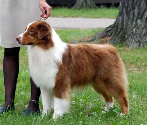 australian shepherd scotch bob tailed sheepdog history