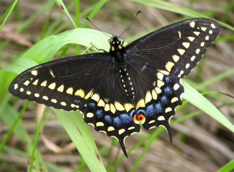 black butterfly larval foodplants of swallowtail butterflies of the