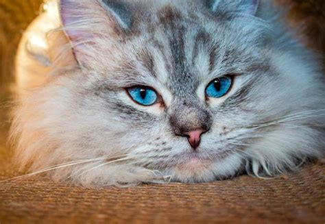 Siberian Cats Shedding by Cats That Don T Shed Bengal Cats