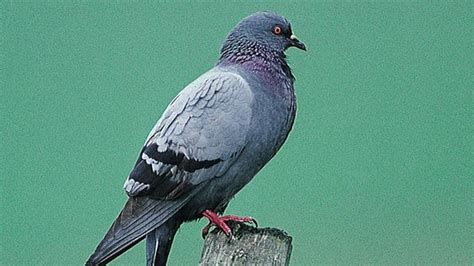 the rspb advice feral pigeon deterrents