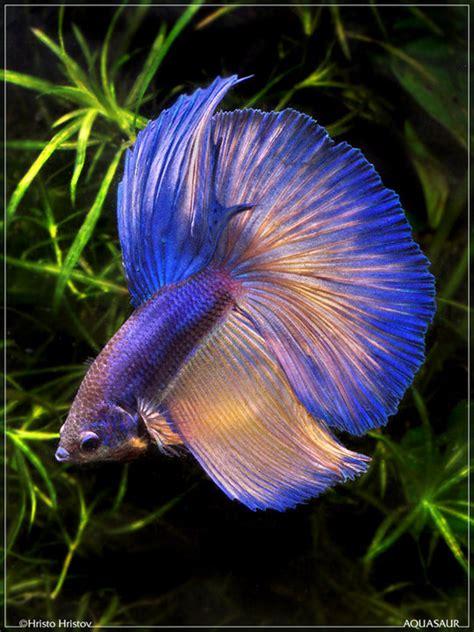 Makanan Ikan Hias Lemon ikan mahal ikan cantik ikan terindah ikan platy ikan