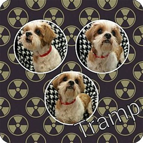 shih tzu king charles mix urbana oh shih tzu cavalier king charles spaniel mix meet tr a for adoption