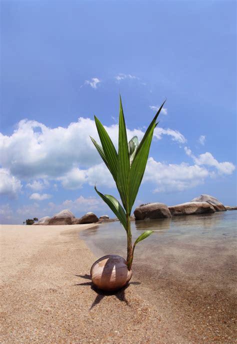 kokospalme pflege  gedeiht sie  besten