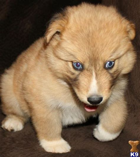 wolf puppies for sale in dogs for sale wolf dogs and arizona on