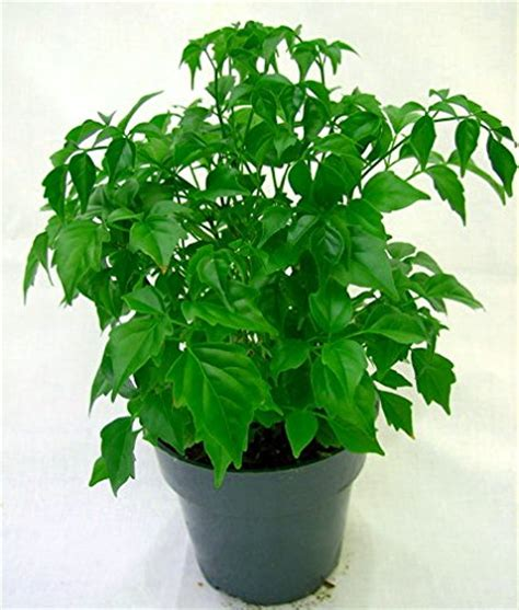 china doll house plant radermachera junglekey fr image