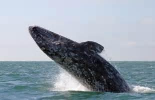 California Grey California Grey Whales Scammon S Lagoon Baja California