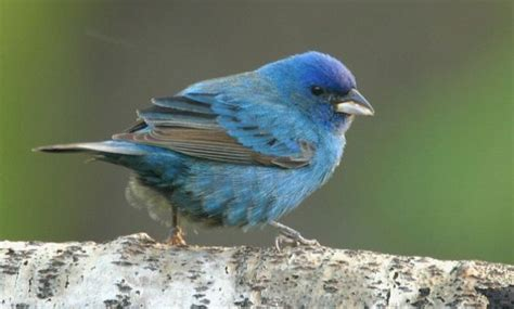 blue colored birds 14 amazing blue colored birds in the world