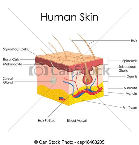 Vertical Section Of Human Skin by Vector Clipart Of Human Skin Anatomy Vector Illustration