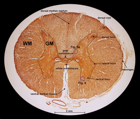 mammalian spinal cord in cross section exploration of the human spinal cord