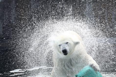 oso polar oso polar 080506902x orso polare