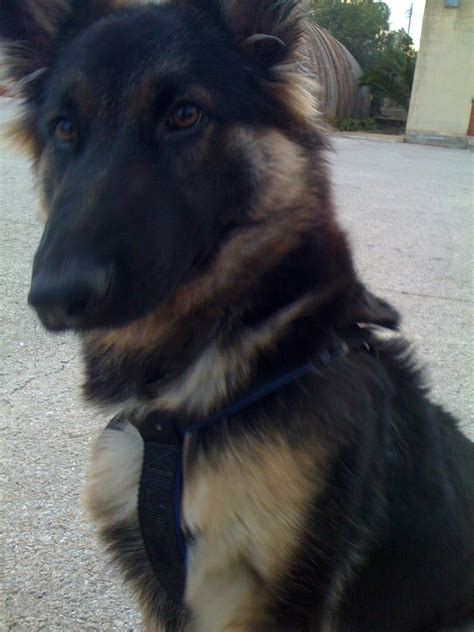 how to your german shepherd like a buddy now german shepherds photo 4356608 fanpop