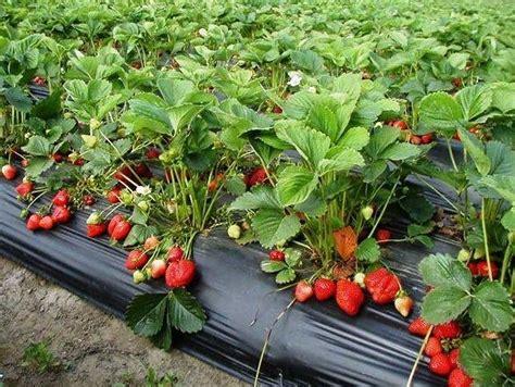 coltivare fragoline di bosco in vaso coltivazione frutti di bosco frutti minori