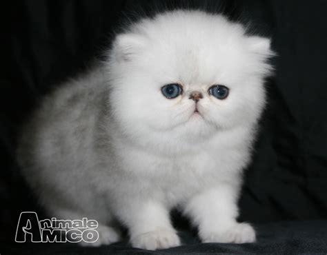 gatti persiani chinchilla in vendita vendita cucciolo chinchilla da privato a roma gatti