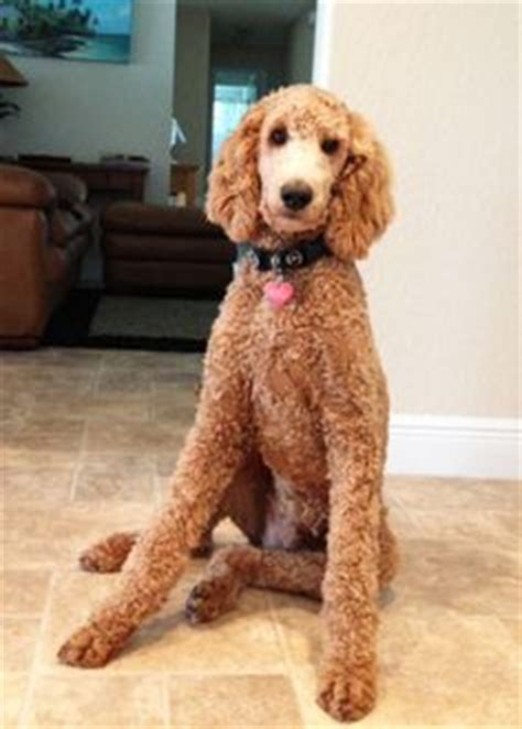 exles of poodle cuts styles standard poodle grooming styles poodle forum