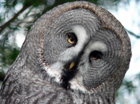 grey owl wallpaper great grey owl wallpaper and background image 1600x1200