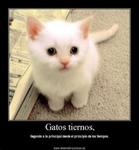 imagenes de gatitos blancas tiernas im 225 genes de gatitos tiernos im 225 genes