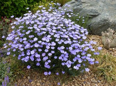 Tanaman Hias Blue Bell 16 best zone 5 xeriscape plants images on