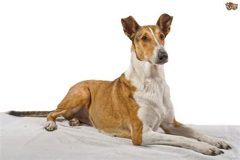 smooth collie puppies smooth collies www pixshark images galleries with a bite