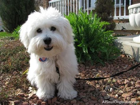 coton de tulear puppy cut 173 best images about coton de tulear on madagascar teddy dogs and