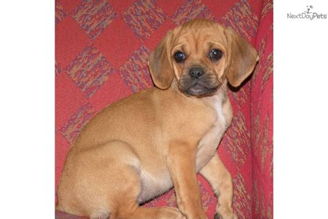puggle puppies for adoption meet harley a puggle puppy for sale for 225 harley puggle rescue