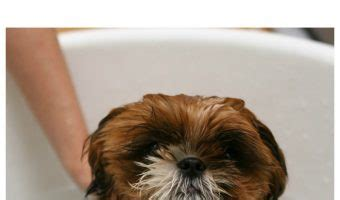 can fleas kill a dogvills all about dogs