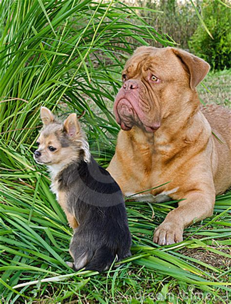 small guard dogs big and small guard dogs friends in the garden stock photo image 20734980