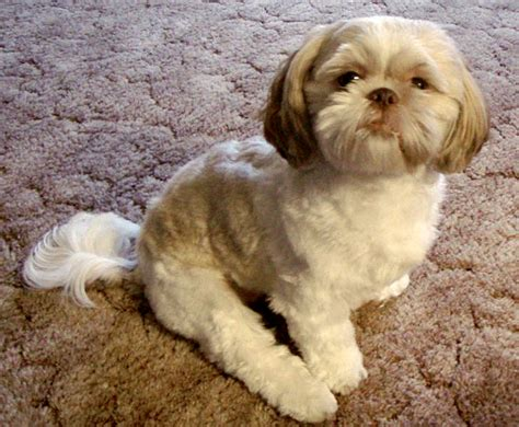 shih tzu vancouver in a condo most popular breeds tips tricks vancouver homes