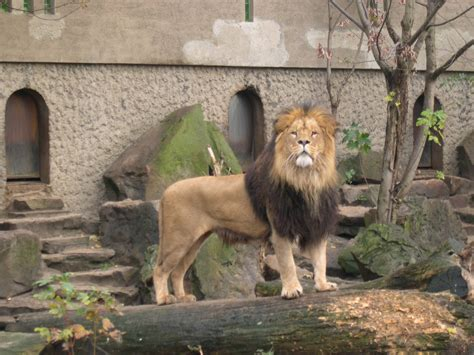 imagenes animales zoo file lion artis zoo jpg wikimedia commons