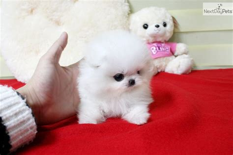 micro teacup pomeranian for sale near me precious micro white teacup pomeranian puppies for sale picture breeds picture