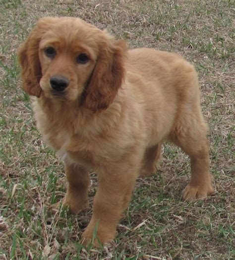 golden retriever mix that stay small golden retriever breed that stays small dogs in our photo
