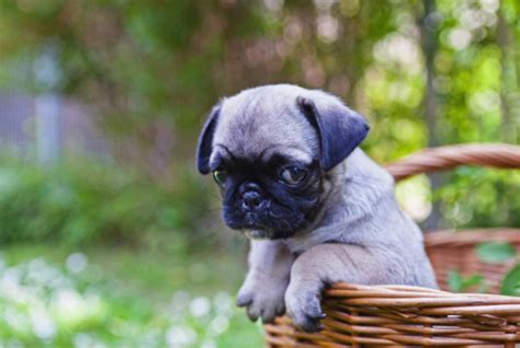 pug things to buy breeds 11 things only pug understand metro news