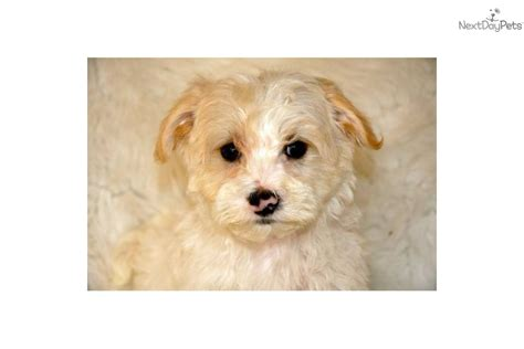 apricot yorkie poo puppies for sale meet chuck a yorkiepoo yorkie poo puppy for sale for 650 apricot