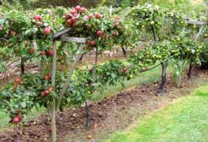 plant fruit tree beginner s guide to semi apple trees home n