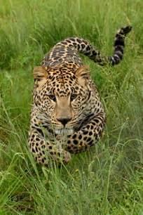 Jaguar In Pronunciation Leopard Simple Wiktionary