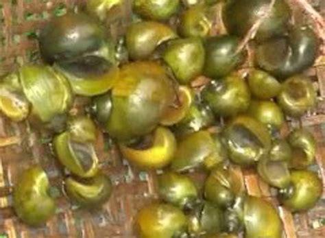 Pakan Ikan Lele Organik 8 tips dan cara mudah membuat pakan alternatif lele