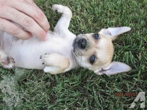 chihuahua puppies for sale in ma terrier chihuahua mix puppies for sale in framingham massachusetts
