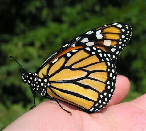 monarch butterfly monarch butterfly wing www pixshark images