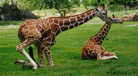 imagenes de jirafas y osos descripci 211 n de una jirafa