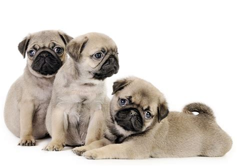 non shedding pug non shedding puppies for sale in carolina breeds picture